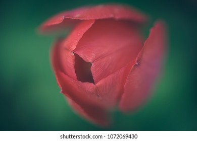 tulip with green background