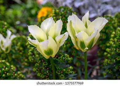 Tulip 'Green Spring'
