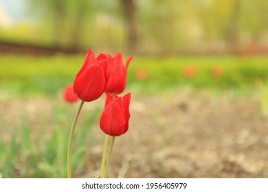 Tulip of Iris Garden in Seoul.