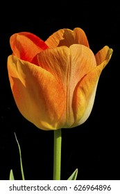 Tulip - Isolated macro photograph of a  tulip with a black background.