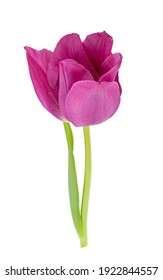 Tulip isolated on white background. Clipping path
