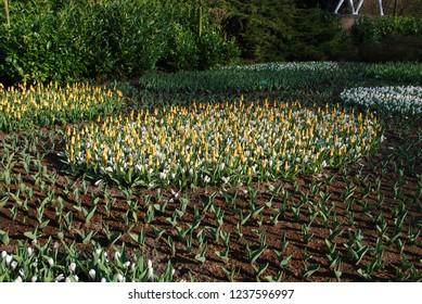 Tulip Kaufmannia Giuseppe Verdi and crocus Jeanne D'Arc grown in the park. Spring time in Netherlands.