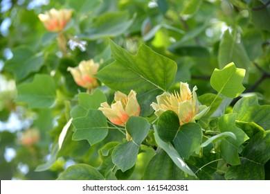 Tulip lyredendron flowers (tulip tree) (Liriodendron tulipifera L.)