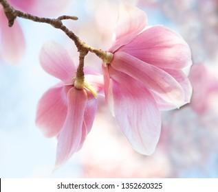 Tulip Magnolia Blossoms