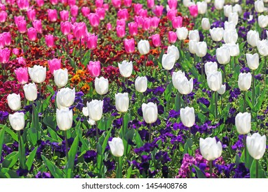 tulip mixborder with Viola tricolor