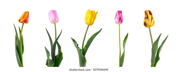 Tulip on a long stem with leaves, isolated on white background. Set of five tulips of different varieties