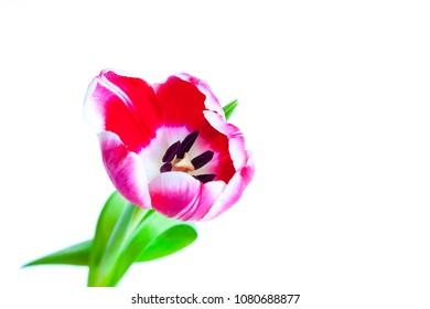 Tulip on white in a studio