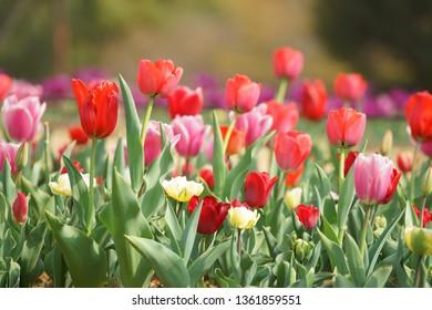 Tulip at  park in Tokyo