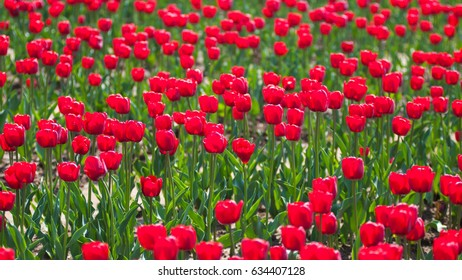 tulip in Park,red color