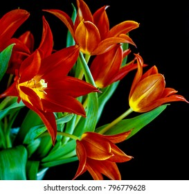 The tulip is a perennial, bulbous plant with showy flowers in the genus Tulipa