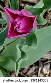 Tulip Purple Flower Blooming with Sinuous Green Leaf in Spring Garden Bed