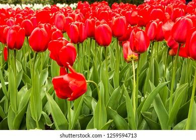 Tulip red flowers in Keukenhof garden, Netherlands, Holland