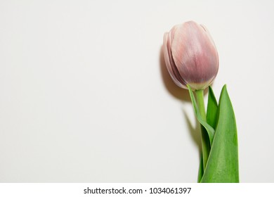 tulip red rose