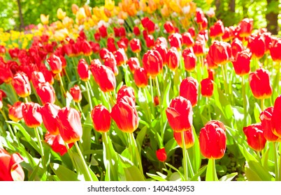 Tulip. Spring background of colorful flowers in the garden