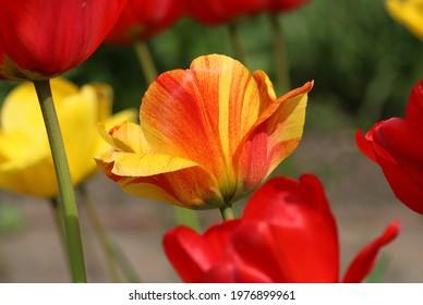 Tulip - in the sunlight