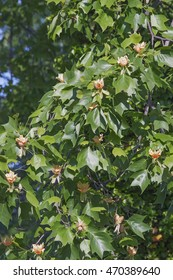 Tulip tree (Liriodendron tulipifera) in blossom. Called Tuliptree, American Tulip Tree, Tulip Poplar, Yellow Poplar, Whitewood and Fiddle-tree also.  Symbol of Indiana, Kentucky and Tennessee