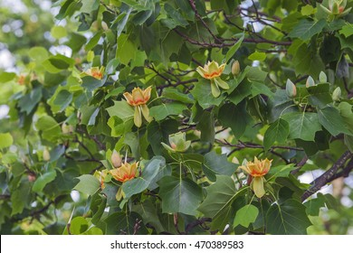 Tulip tree (Liriodendron tulipifera) in blosssom. Called Tuliptree, American Tulip Tree, Tulip Poplar, Yellow Poplar, Whitewood and Fiddle-tree also.  Symbol of Indiana, Kentucky and Tennessee