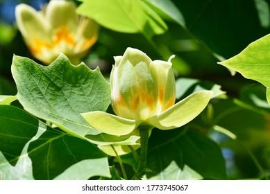 Tulip Tree. Scientific name: Liriodendron tulipifera