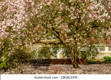 Tulip trees on the grounds of Milam Hall on the Oregon State University Campus.  They are widely known for their large flowers superficially resembling tulips, Corvallis, Oregon