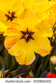 Tulip yellow color