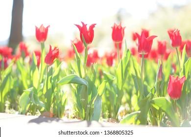 Tulip at Yokohama in Japan