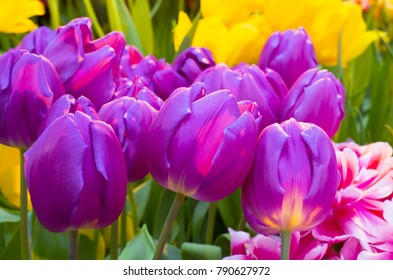 Tulip Zizanie, purple color