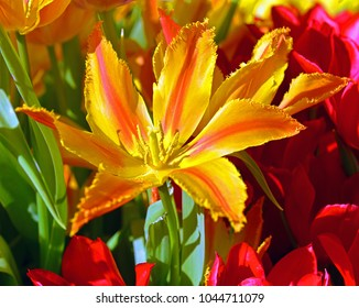 Tulipa Alexandra, tulip with single cup shaped Bronze yellow flower, rich and tidy with strong stems. Liliaceae