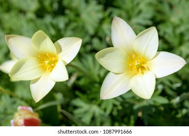 """Tulipa Clusiana - 'Lady Jane' - A close-up view of pure white inside of two freshly blooming Tulip 'Lady Jane"""" flowers."""