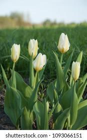 Tulipa fosteriana Purissima (Syn. Tulip White Emperor) in garden. Latvia, Europe
