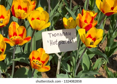 """Tulipa of the Hotpants  species on a flowerbed. Translation of the word on nameplate: """"Tulip Hotpants"""""""