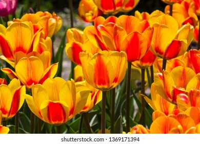 Tulipa of the Hotpants  species on a flowerbed.