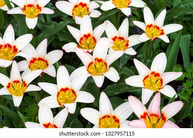 Tulipa of the Kaufmannanian-Greigii Heart's Delight  species on a flowerbed.