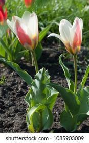 Tulipa Kaufmanniana in early morning. Latvia, Europe