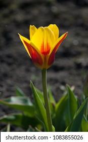Tulipa Kaufmanniana Stresa in garden. Latvia, Europe