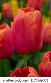 Tulipa Single Late Grp Avignon