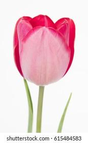 Tulipa Triumph Grp Topgun