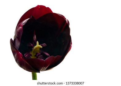 Tulipa (tulips) is a genus of spring-blooming perennial herbaceous bulbiferous geophytes, dying back after flowering to an underground storage bulb