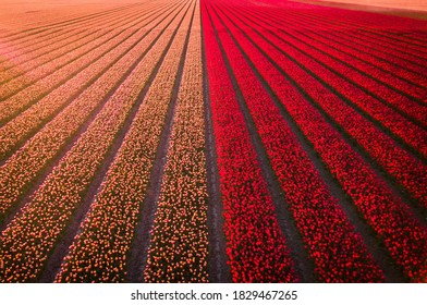 Tulipfields in Holland in droneview