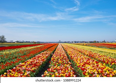 The tulip-fields in springtime, located between the towns of Lisse and Sassenheim, province of Zuid-Holland, the Netherlands