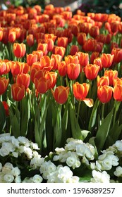 tulips are available in nearly every color of the rainbow, with some varieties having petals in multiple tones or colors in a single bloom. You'll find tulips in deep shades like maroon, black