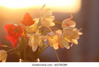 tulips in backlight