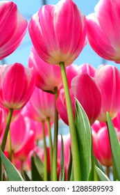 Tulips bathed in the sunlight.