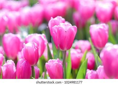Tulips with beautiful bouquet background.