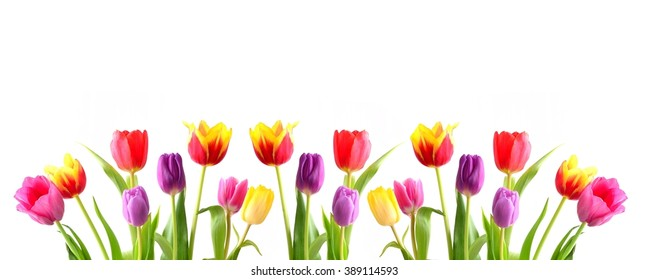 Tulips. Beautiful bouquet .Colorful flowers on  white background.