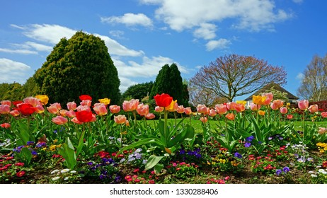 Tulips and a beautiful spring morning in Stratford Park, Stroud, The Cotswolds, Gloucestershire, United Kingdom