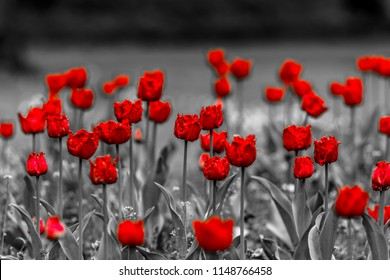 Tulips, black and white, red