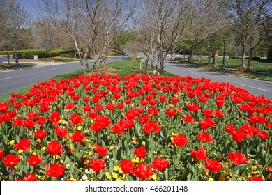 Tulips in Bloom in a Median, Charlotte North Carolina Southpark