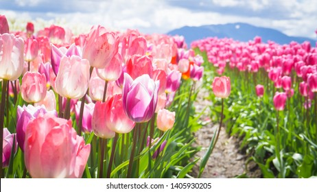 Tulips blooming in Abbotsford Tulip Festival