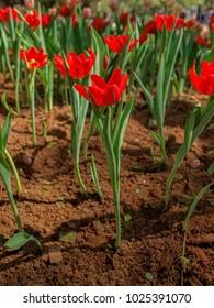 Tulips blooming in the garden