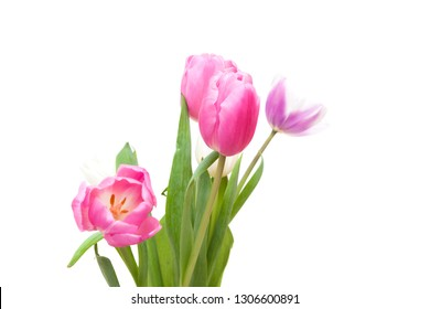Tulips blooming on white background